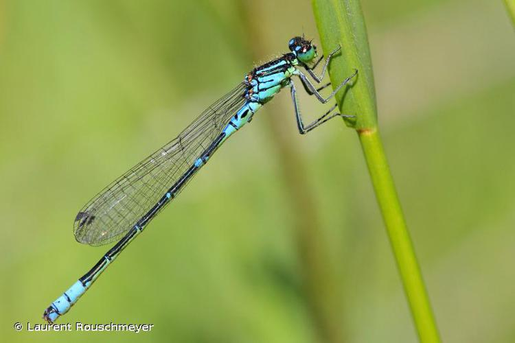 <i>Coenagrion lunulatum</i> (Charpentier, 1840) © Laurent Rouschmeyer